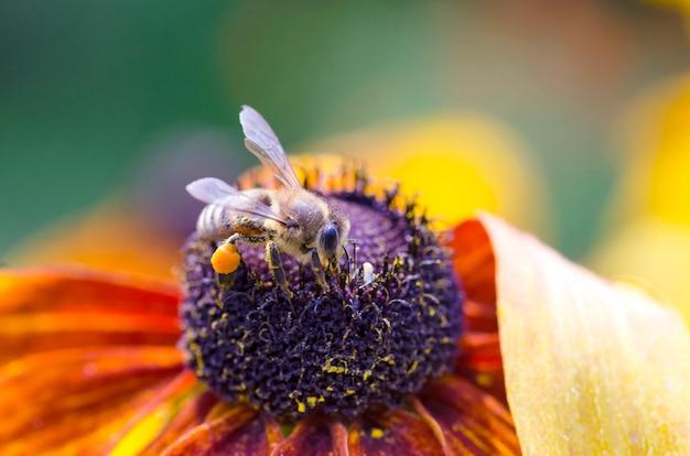 Bee op black-eyed susan