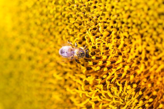 Bee op zonnebloem. bloem van zonnebloemclose-up, natuurlijke achtergrond Premium Foto