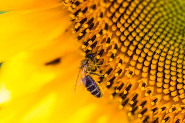 Bee op zonnebloem. bloem van zonnebloemclose-up, natuurlijke achtergrond