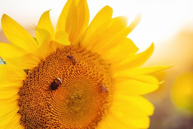 Bee verzamelt nectar van zonnebloem.
