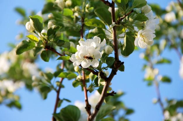 Bee verzamelt stuifmeel van een bloeiende appelboom in de tuin tegen een blauwe hemel