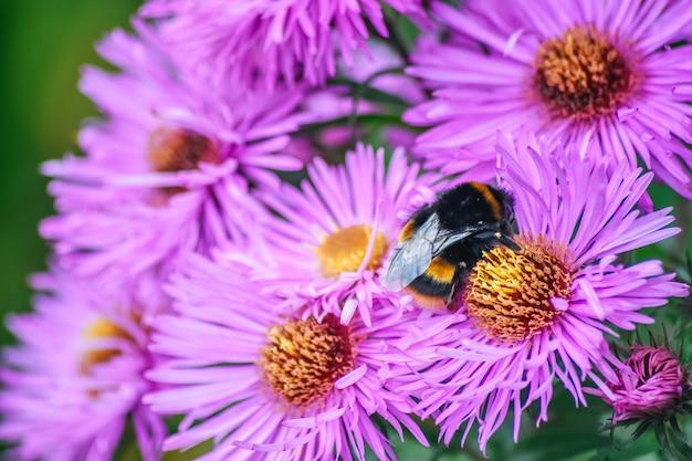 Bee werkt aan aster amellusbloem