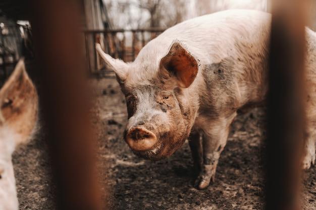 Beeld dat van vuil varken zich in modder in kooi bevindt. varkens fokken concept.