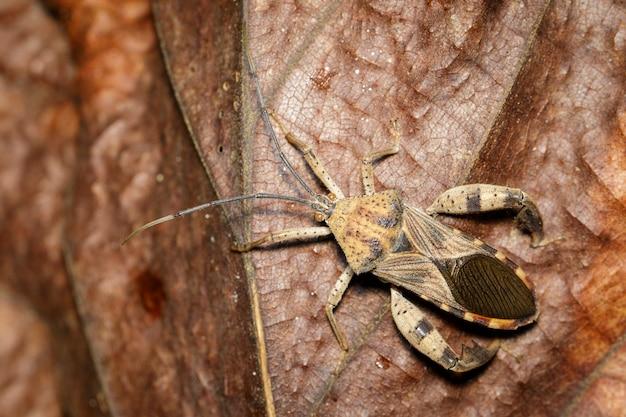 Beeld van aardnootinsect, acanthocoris-sordidus (coreidae) op bruine bladeren. insect. dier.