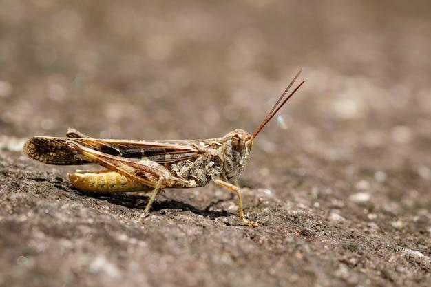 Beeld van bruine sprinkhaan op de vloer. insect. dier