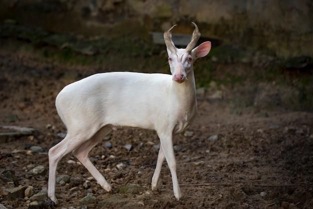 Beeld van een albino blaffend hert op aard. wilde dieren.