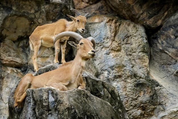 Beeld van een barbarije schaap op de rotsen. dieren in het wild.