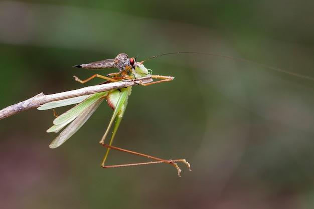 Beeld van een roversvlieg (asilidae) die sprinkhaan eet. insect dier