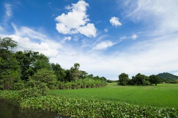 Beeld van groen padieveld met blauwe hemel voor achtergrondgebruik
