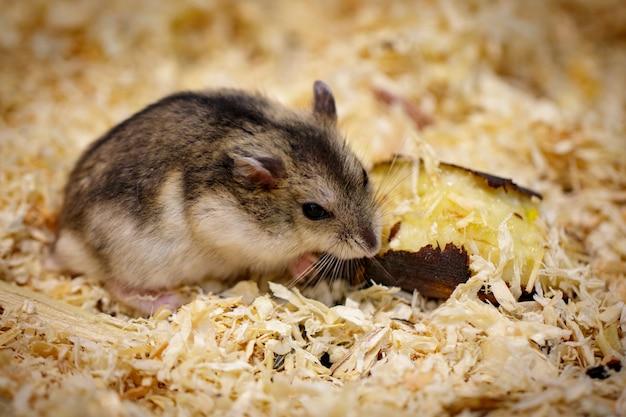 Beeld van hamster die voedsel eet. pet. dieren.