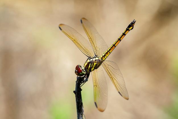 Beeld van karmozijnrode dropwing libel (wijfje) / trithemis-dageraad op een tak op aard. insect. dier