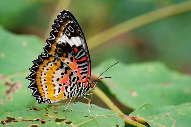 Beeld van luipaard lacewing vlinder op groene bladeren. insect dier.