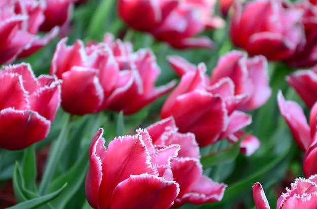 Beeld van mooie tulpen op ondiep diep van gebieds dichte omhooggaand