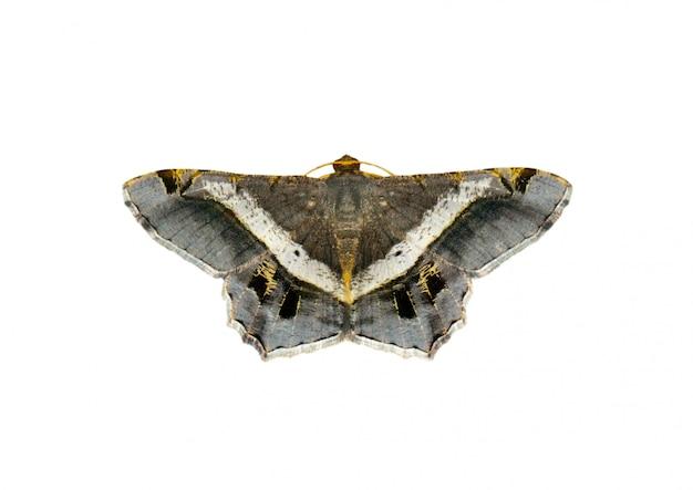 Beeld van mot of vlinder (semiothisa eleonora) op witte achtergrond wordt geïsoleerd die