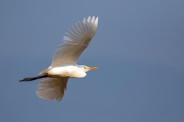 Beeld van reiger, moederloog of aigrette die op hemel vliegen. witte vogel. dier.