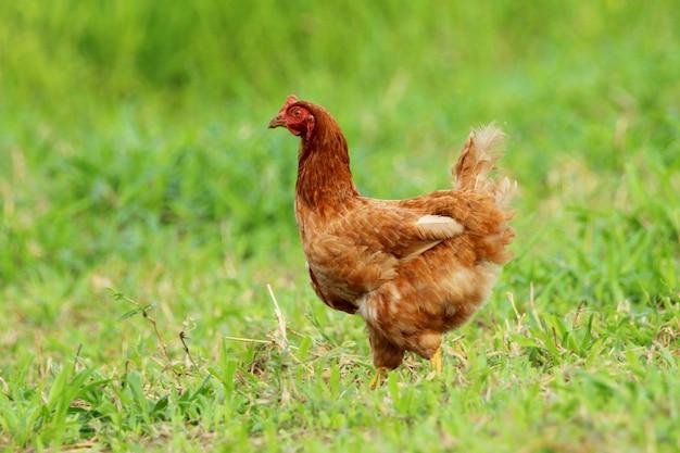 Beeld van rode kip op groen grasgebied.