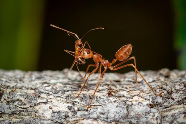 Beeld van rode mier (oecophylla-smaragdina) op boom. insect. dier.