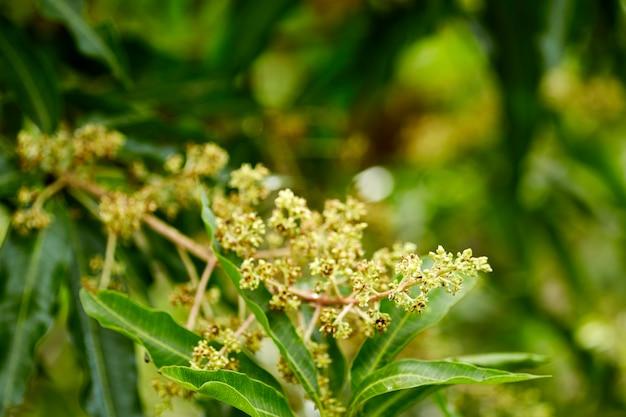 Beelden van een mangoboom in volle bloei