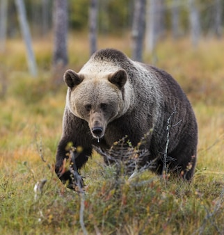 Beer zoogdier dier en dieren in het wild