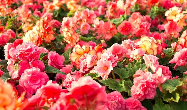 Begonia bloemen close-up