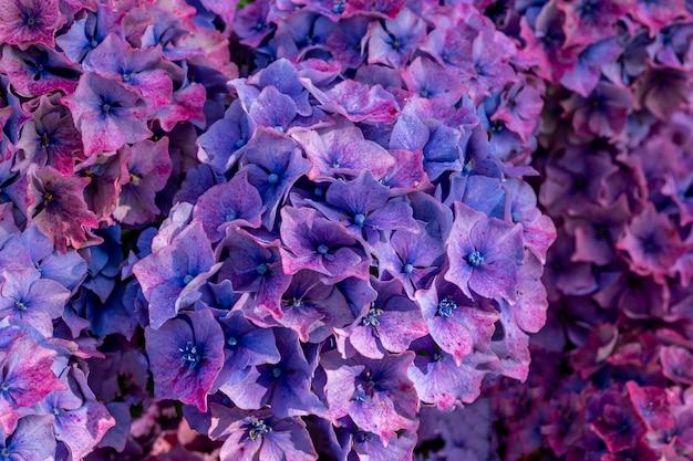 Begonia bloemen in ierland.