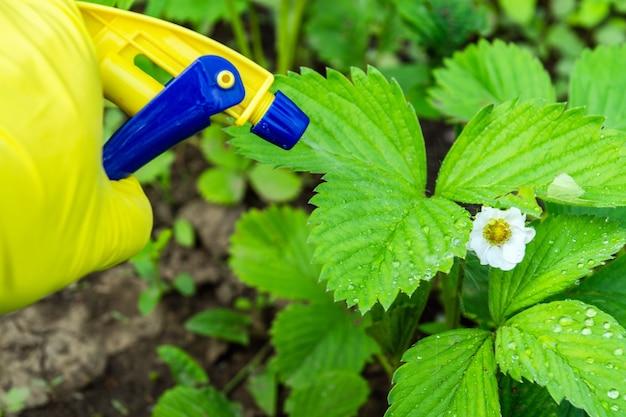 Behandeling van aardbeien tijdens de bloei met een fungicide tegen ongedierte
