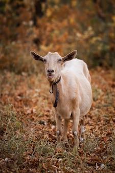 Beige geit in de herfst bos kauwt bladeren