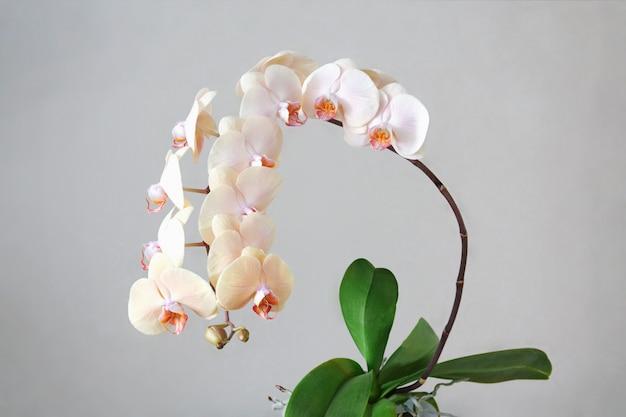Beige orchidee met dertien tot bloei komende bloemen op een lichtgrijze achtergrond