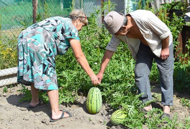 Bejaard echtpaar dat watermeloenen oogst in dorp