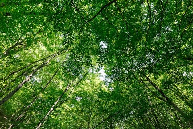 Bekijk omhoog in het de lentebos op de kronen van lange bomen met jong groen gebladerte