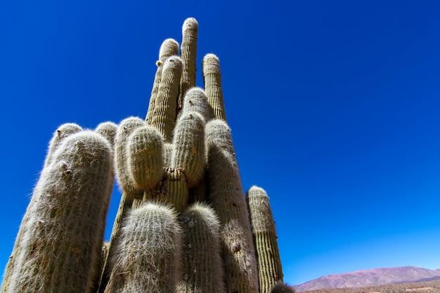 Bekijk op cactus planten in argentinië