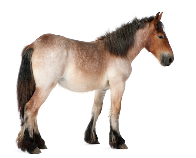 Belgisch paard, belgisch zwaar paard, brabancon, een trekpaardenras, 16 jaar oud, staande op wit geïsoleerd