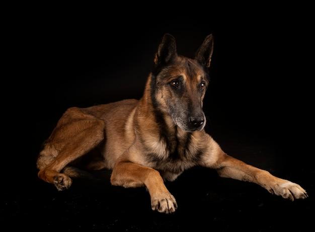 Belgische herder geïsoleerd op zwart