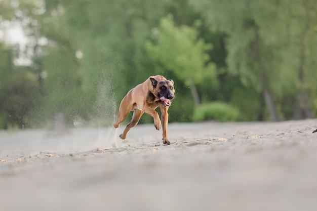 Belgische herder op het strand mechelse herder rennende hond