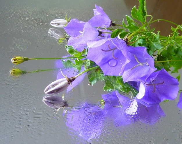 Bellflower reflecties waterdruppels campanula