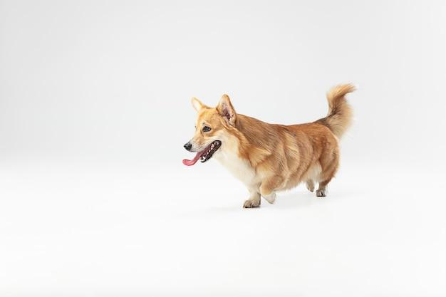 Ben ik schattig of niet. welsh corgi pembroke puppy in beweging. het leuke pluizige hondje of het huisdier speelt geïsoleerd op witte achtergrond. studio fotoshot. negatieve ruimte om uw tekst of afbeelding in te voegen.