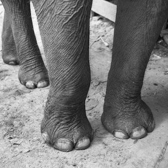 Benen van olifant, tad sea-waterval, luang prabang, laos