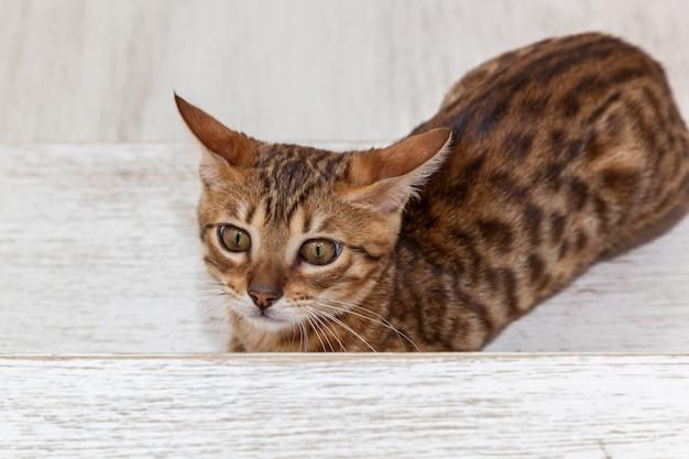 Bengaals katje, bengaals katje met een grappig gezicht, een katje zorgt voor een speeltje