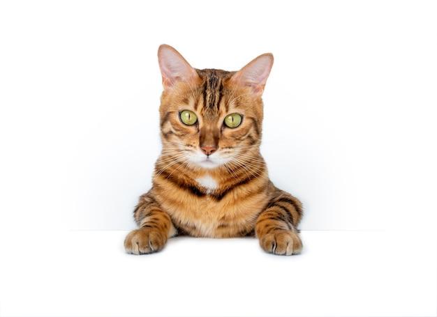 Bengaalse huiskat opknoping op leeg teken geïsoleerd op een witte achtergrond