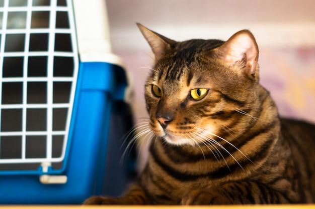 Bengaalse kat ligt in de buurt van de kooi voor het vervoeren van dieren