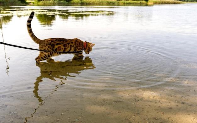 Bengaalse kat staat in het water aan de oever van het meer en kijkt naar zijn spiegelbeeld