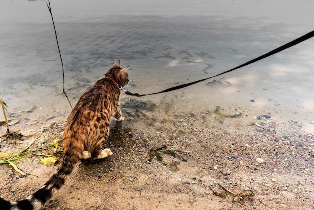 Bengaalse kat staat op de zanderige oever van het meer en kijkt naar het water