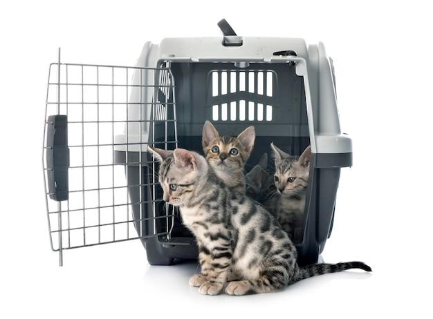 Bengaalse katten in kennel voor witte achtergrond