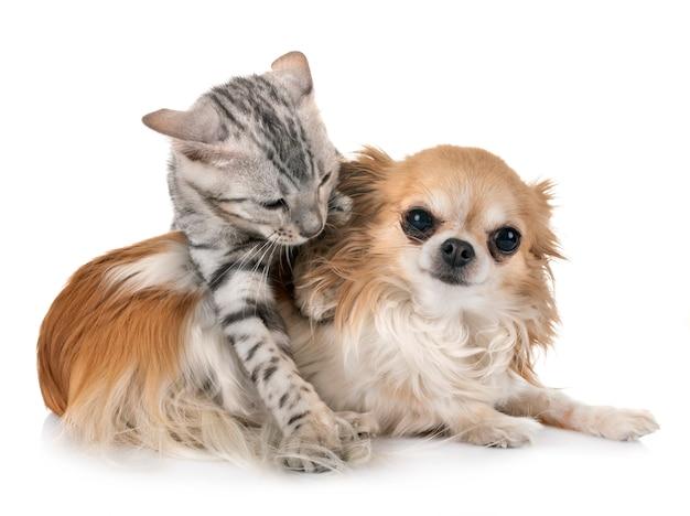 Bengaalse kitten en chihuahua