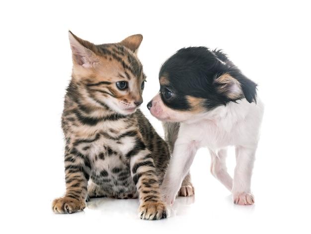 Bengaalse kitten en puppy chihuahua