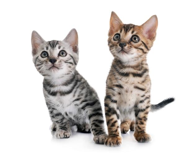Bengaalse kitten geïsoleerd