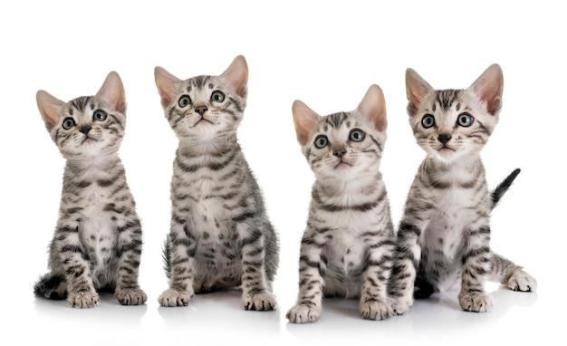 Bengaalse kitten in de studio
