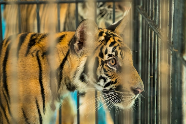 Bengaalse tijger. - een close-up van bengaalse tijger in kooi