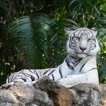 Bengaalse tijger, gezicht van dier in de natuur