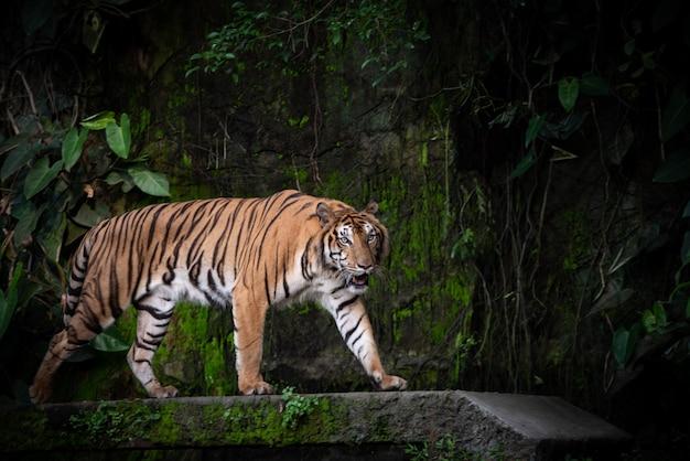 Bengaalse tijger, grote carnivoor dieren in het wild in het bos